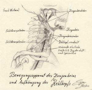 Der Kehlkopf